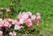 Photo of Цветы, которые можно есть