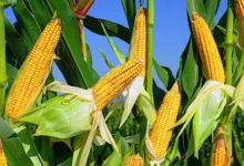 Photo of 8опасных свойств кукурузы